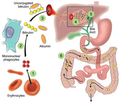 evaluating liver test abnormalities: bilirubin metabolism, Skeleton